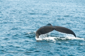 "A ""fluke"" indicates the whale has taken a deep dive."