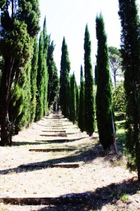Cypress trees in Tuscany.
