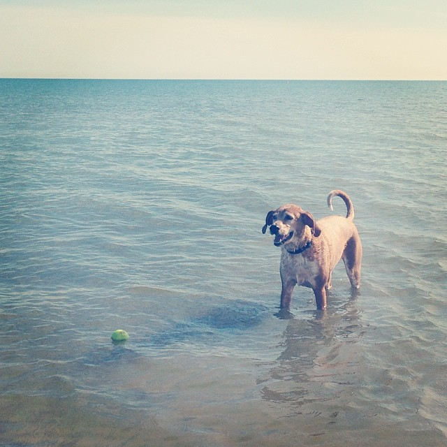 Essie enjoying a morning swim at Montrose Dog Beach.